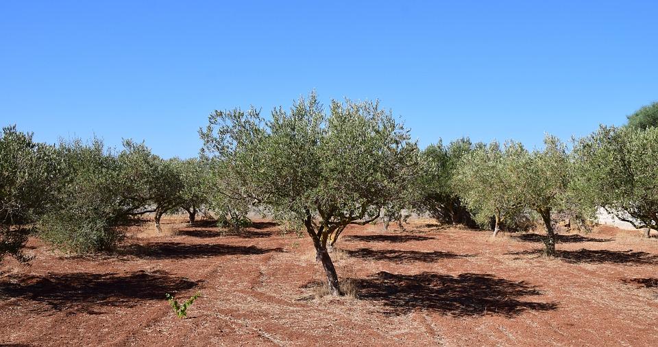 Fungicida para el olivo