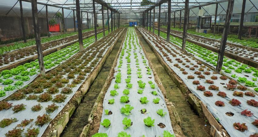 Uso de azufre en espolvoreo para invernaderos