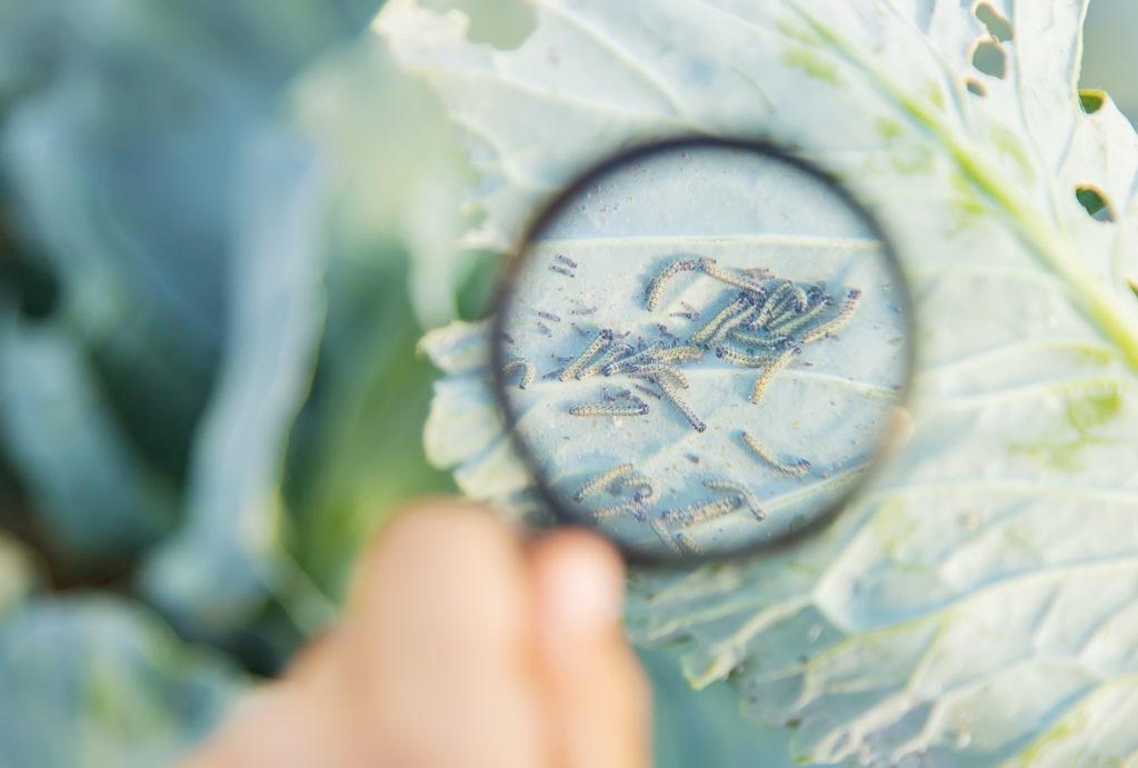 Cómo identificar plagas en cultivos