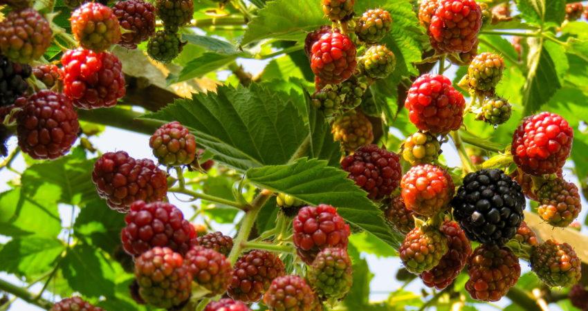 Insecticida para frutos rojos