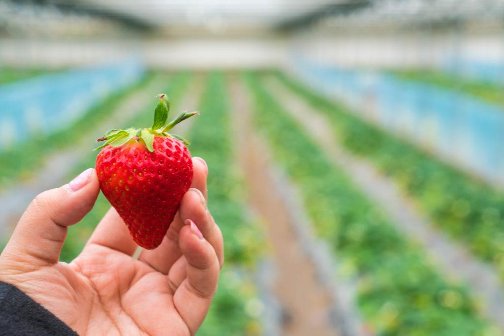 Se puede utilizar el azufre en las fresas