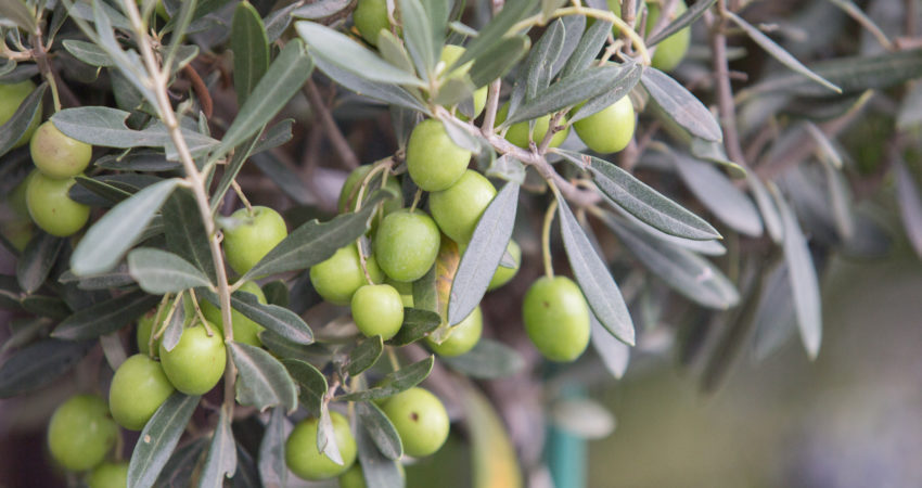 Fungicidas para el olivo