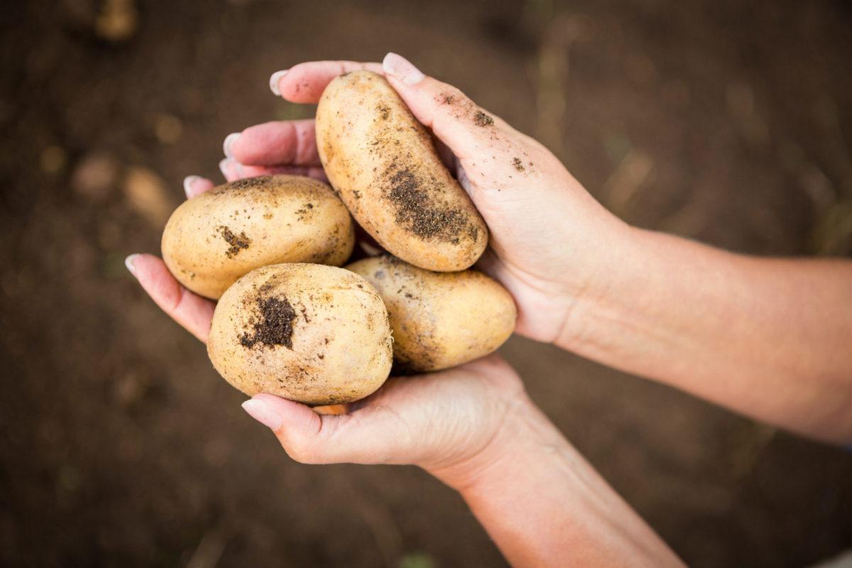 Cómo identificar las principales plagas y enfermedades de la patata - Productos AJF