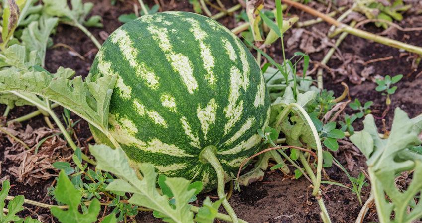 Enfermedades que afectan al melón y a la sandía