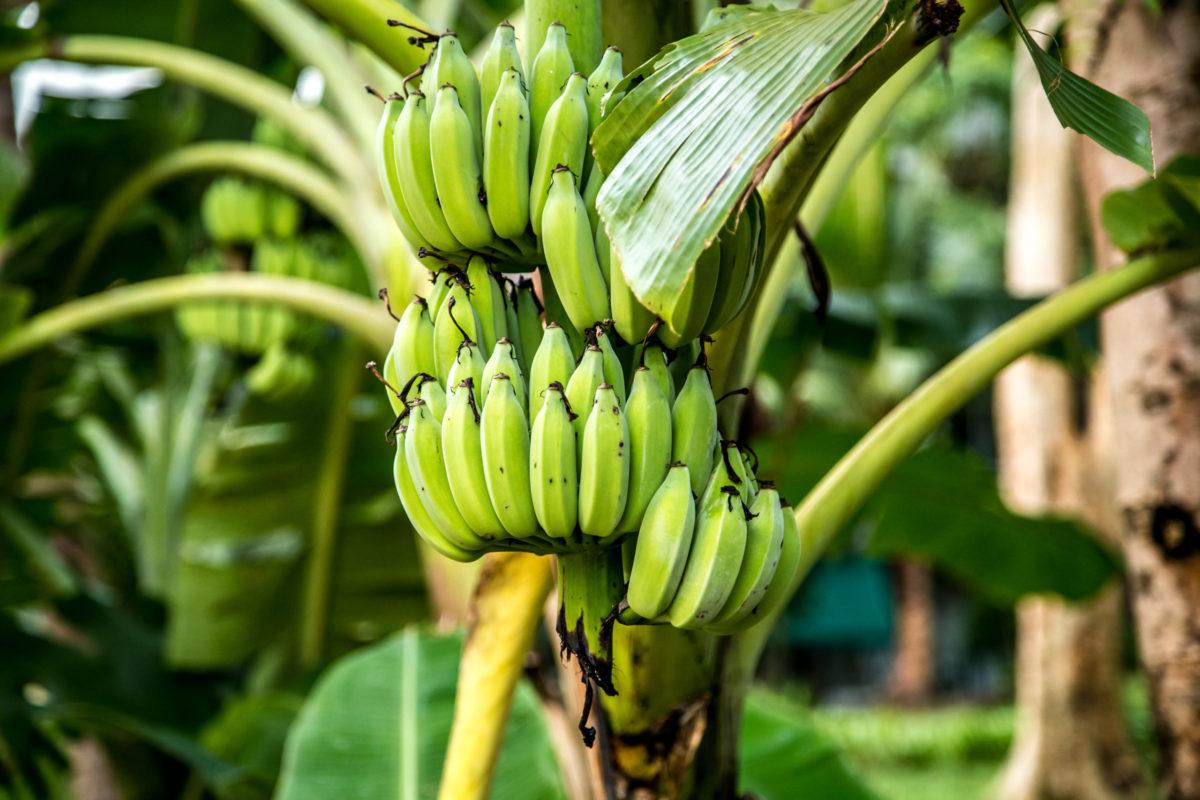 Distingue las plagas que afectan a la plantación de plátanos para ponerles remedio - Productos AJF